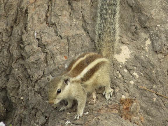 Five-striped Palm Squirrel